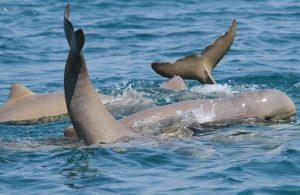 Snubfin_dolphins, HInchinbrook Island