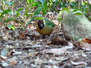 A Noisy Pita near the camp site of Mulligan falls, Hinchinbrook Island