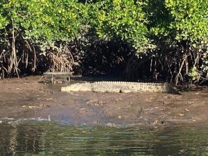 Local Crocodile sunbathing